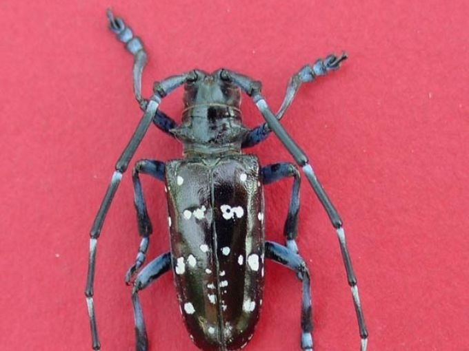 Asian Longhorned Beetle - Official Site