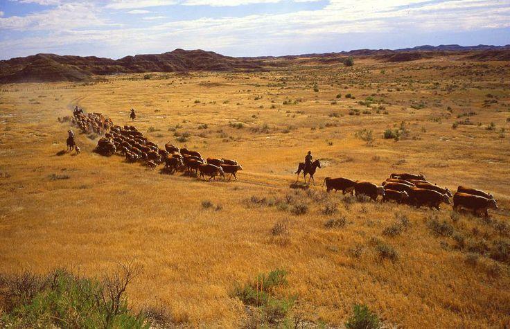 Cattle roundup near Miles City, Montana