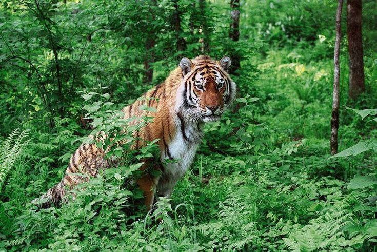 A Hedge Fund Manager Helped Save Siberian Tigers   TakePart