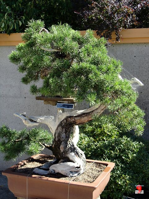 31 best images about art bonsai on pinterest trees for Bonsai de jardin