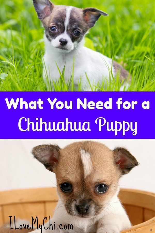 How Can You Teach A Dog New Tricks Chihuahua Puppies Chihuahua