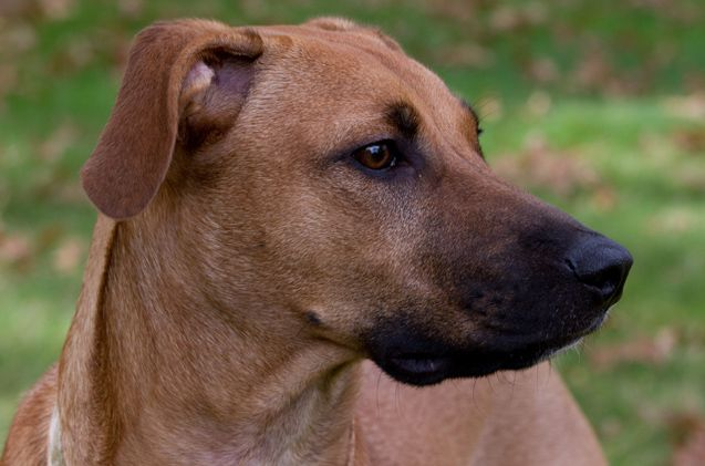 If you are looking for a rugged, strongly muscled working dog then look no further than the Black Mouth Cur. This breed is a medium- to large-sized dog that is named for the black coloration on its muzzle.