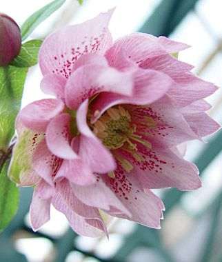 Hellebore, Phoebe - some winter roses for the walk to the car, blooms in February?