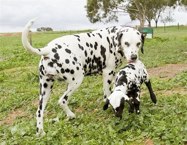 Este cordeiro recém-nascido, com pelagem cheia de pintas pretas e brancas, esta´tendo uma crise de identidade. Ele pensa ser um cachorro da raça dálmata! O cordeiro foi rejeitado pela mãe e foi adotado pela cadela.