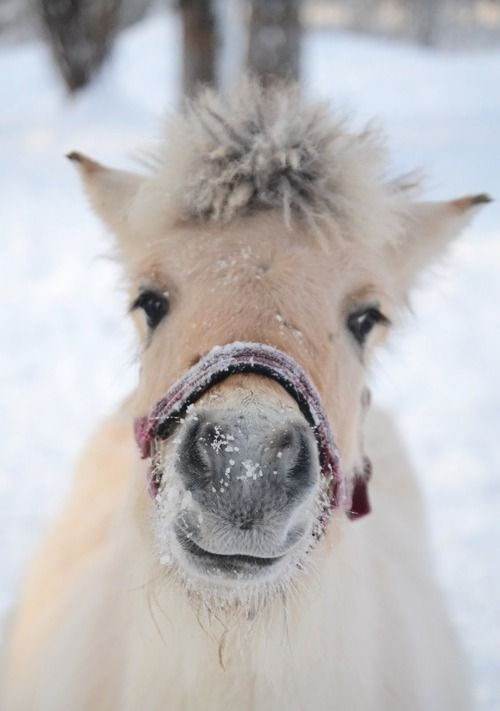 Finnish pony in the snow
