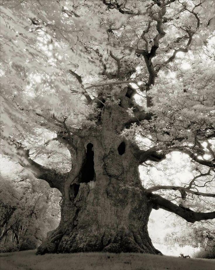 Hermoso! Una mujer lededicó suvida afotografiar los árboles más viejos del mundo. Increíbles fotografías.