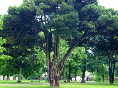 One Drought Tolerant Tree to Consider is the Austrian Pine