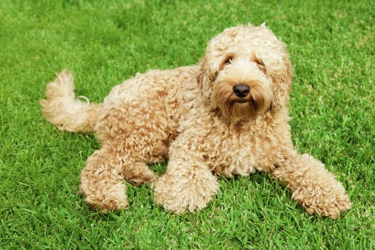 Labradoodle Dog Breed Information, Facts, Photos, Care | Pets4Homes