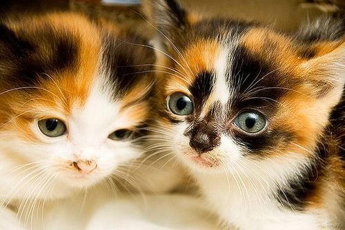 I have two tortoiseshell kittens, they're my heart