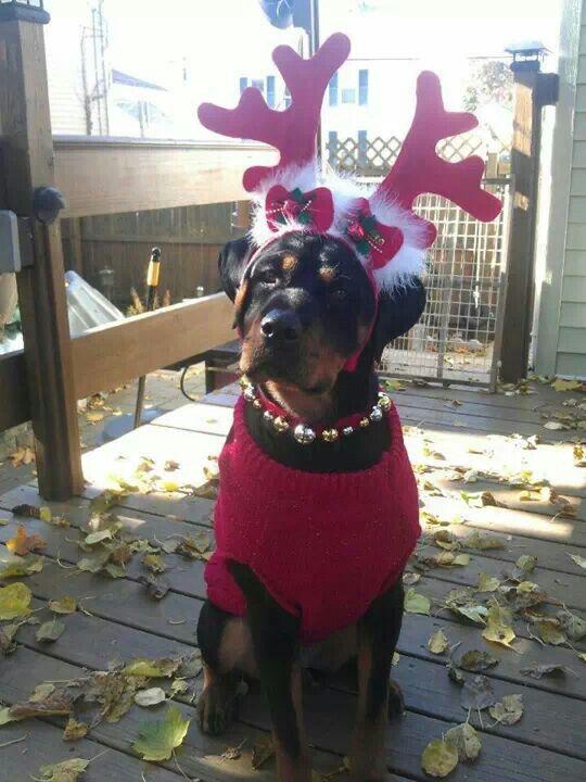 Christmas Rottweiler Rottweiler Breed Board