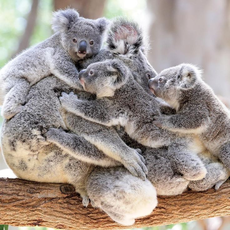 Stacks on! Koala joeys cling to a mother koala at @currumbinsanctuary #koala…