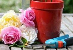 Bouturer ses rosiers: le mode d'emploi