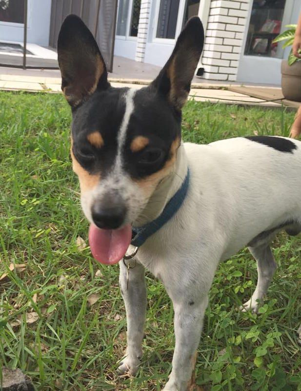 Found Dog - Jack Russell Terrier (Parson Russell Terrier) - Cutler Bay, FL, United States