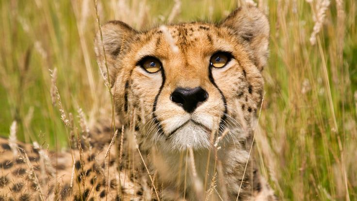 Predator  animal wallaper - Male Cheetah, Wildlife
