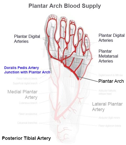 Blood Supply to the Foot - Foot & Ankle - Orthobullets.com