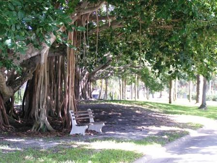 Banyan trees you see along Venice Ave. esp fab if you are walking.