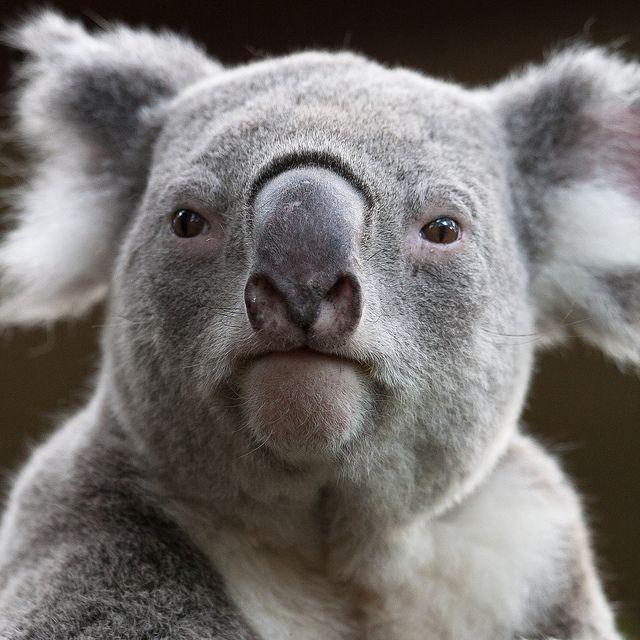 Brisbane ~ Lone Pine Koala Sanctuary