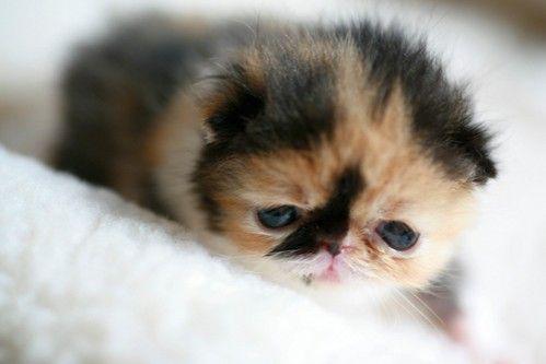 Cute Smallest Kitten in the World the cutest kitten in