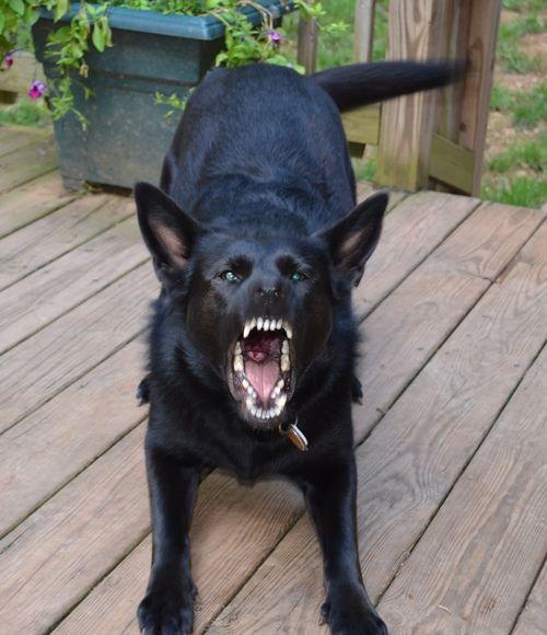 Black German Shepherd~ Protective