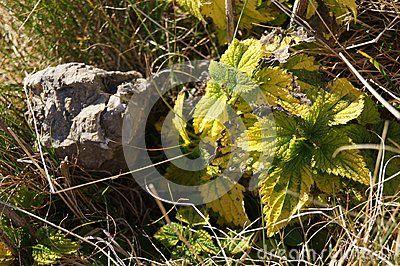 Medicinal herbs - common small Urtica dioica
