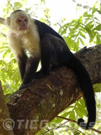 White throated Capuchin Monkeys es animal popular en Costa Rica. Les gusta comer las frutas y hojas.