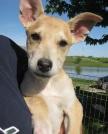 Petango.com – Meet am bulldog gsd 5, a 3 years 8 months Bulldog, American / German Shepherd available for adoption in KANSAS CITY, MO