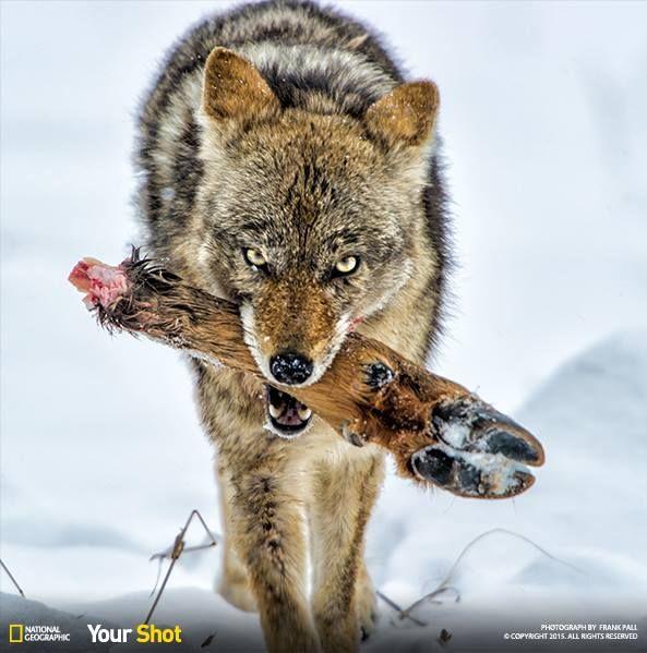 Wolf eating rabbit - photo#11