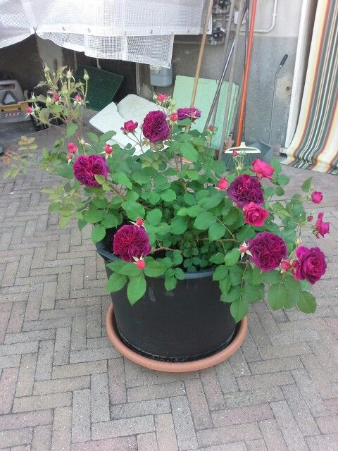 Roses on my garden