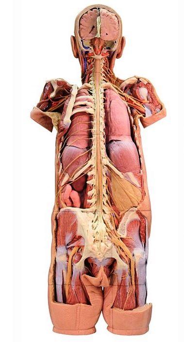 8 Best 3d Printed Anatomy Models Images On Pinterest Anatomy