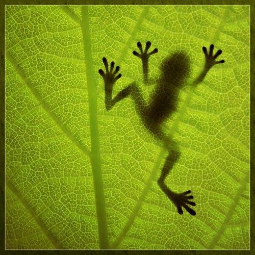 tree frog...sticky feet