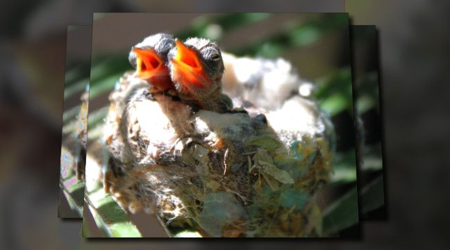 'The hummingbabies on my patio'. Click to watch the video!