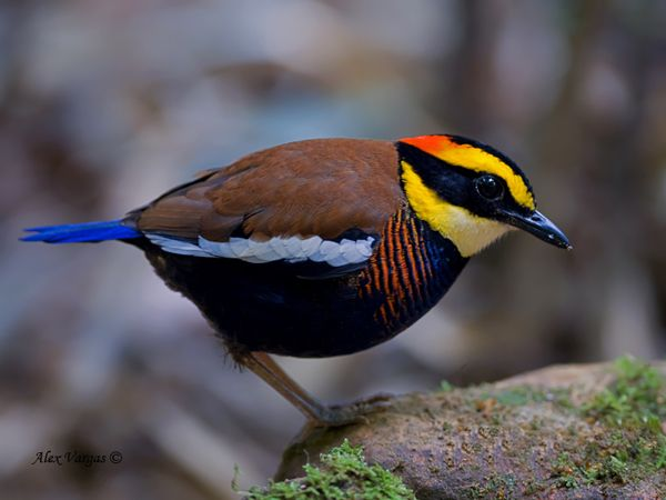 The banded pittas, Hydrornis (guajana) spp., are a group of birds in the Pittidae family that were formerly lumped as a single species, the Banded Pitta. They are found in forest in the Thai-Malay Peninsula and the Greater Sundas.