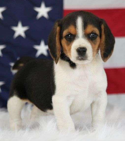 Ginger Is A Female Beagle Puppy For Sale At Puppyspot Call Us