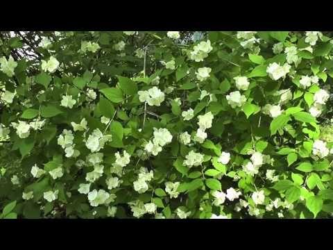 футажи hd - жасмин - YouTube
