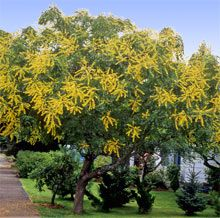 39 best Golden Rain Tree images on Pinterest Rain Seed pods and