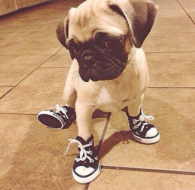 cachorro de tênis all star