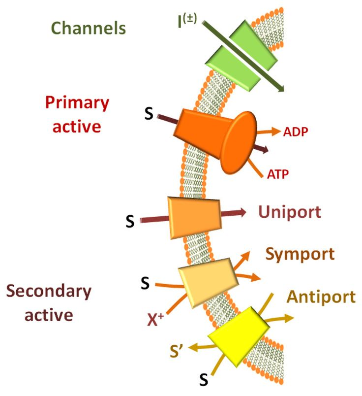 difference between primary and secondary active transport - Google Search