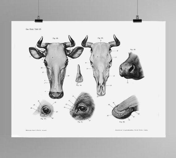 Cow and Bull Head and Cranial Anatomy HD Print Das Rind Tafel 10 Handbuch der…