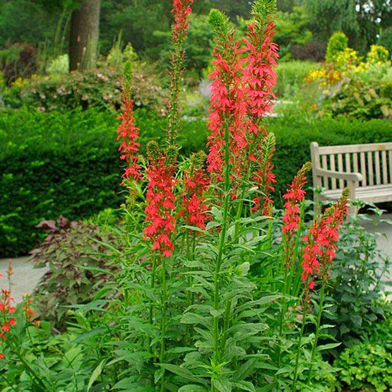 99 best missouri native plants images on pinterest gardening cardinal flower mightylinksfo Image collections