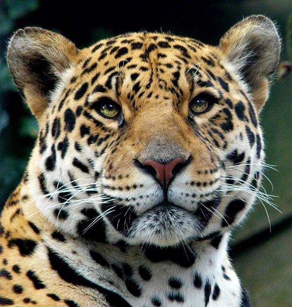 Jaguar Wild Animal: Jaguar (Panther Onca)