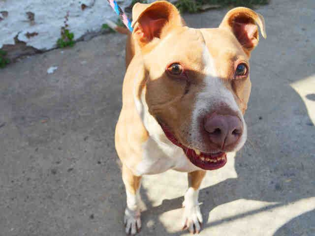 VENUS_a1091334 SPAYED FEMALE, TAN / WHITE, AM PIT BULL TER, 7 yrs OWNER SUR – EVALUATE, HOLD FOR ID Reason OWNER SICK Intake condition EXAM REQ Intake Date 09/26/2016, From NY 10030, DueOut Date 09/26/2016,