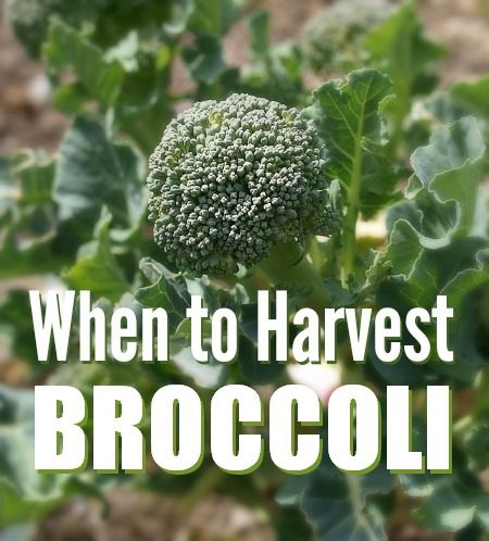 When to Harvest Broccoli from your garden | The 104 Homestead