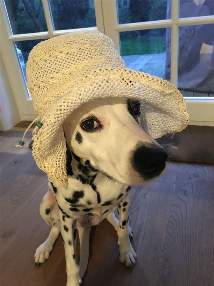 Dalmatiner,Kayleigh vor dem Flug nach Dubai !