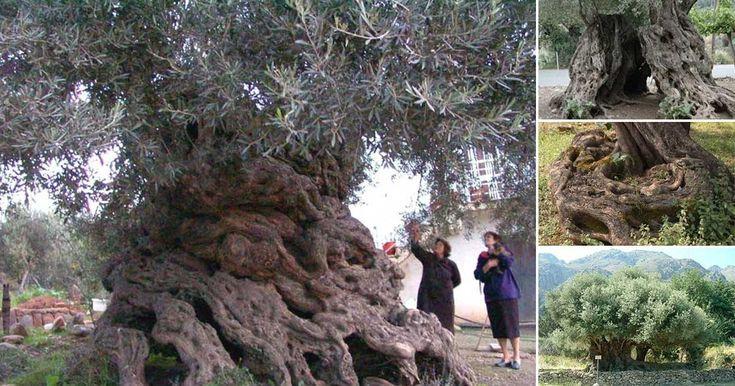 Στην Κρήτη από τα αρχαιότερα δένδρα στον κόσμο. Ελιές ηλικίας 9.000 ετών που ακόμα βγάζουν καρπούς. | Τι λες τώρα;