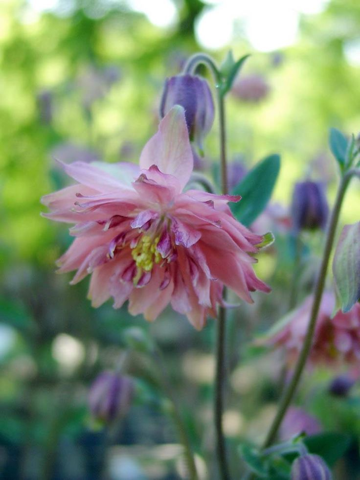 807 best aquilegia images on pinterest plants exotic flowers and backyard ideas. Black Bedroom Furniture Sets. Home Design Ideas