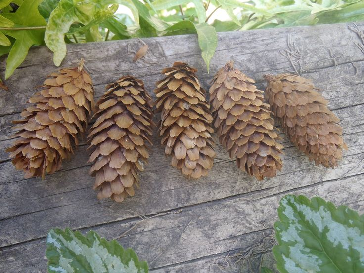 Spruce cones can be used in woodland potpourri, Christmas wreaths, floral and table decorations and much more.