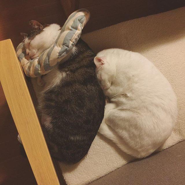 ハッチャンに…ぴとっ♡ あれもしたい!これもしたい!もっとしたいもっともっとしたい〜♪ なのに時間が、あっ!と言う間に過ぎてまう…。 そしてすぐに眠くなる…。この子らから何か眠くなる成分でも出とるんやろか?ってくらいに、つられて寝てまいそになる…てかぜったいこのまま寝そう…私💤 #八おこめ #ねこ部 #cat #ねこ