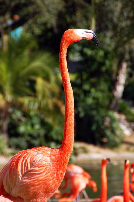 Strutin Photograph Photography by Aimee L Maher http://aimee-maher.artistwebsites.com/featured/strutin-aimee-l-maher.html Nature bird flamingo fine art photo gift $37 Pin It