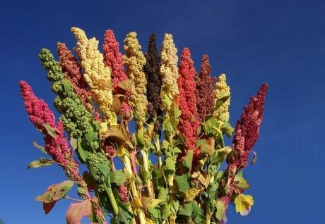 """Quinoa, called """"the mother grain"""" by the ancient Incas."""