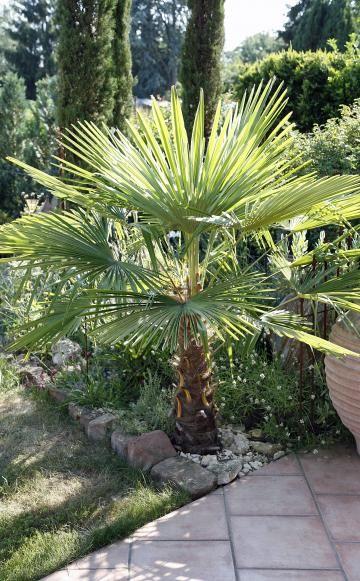Hanfpalme: Der richtige Winterschutz -  Die Hanfpalme (Trachycarpus) kann in milden Regionen draußen überwintern. Allerdings kommt sie in unseren feuchten Wintern nicht ohne Schutzverpackung aus.